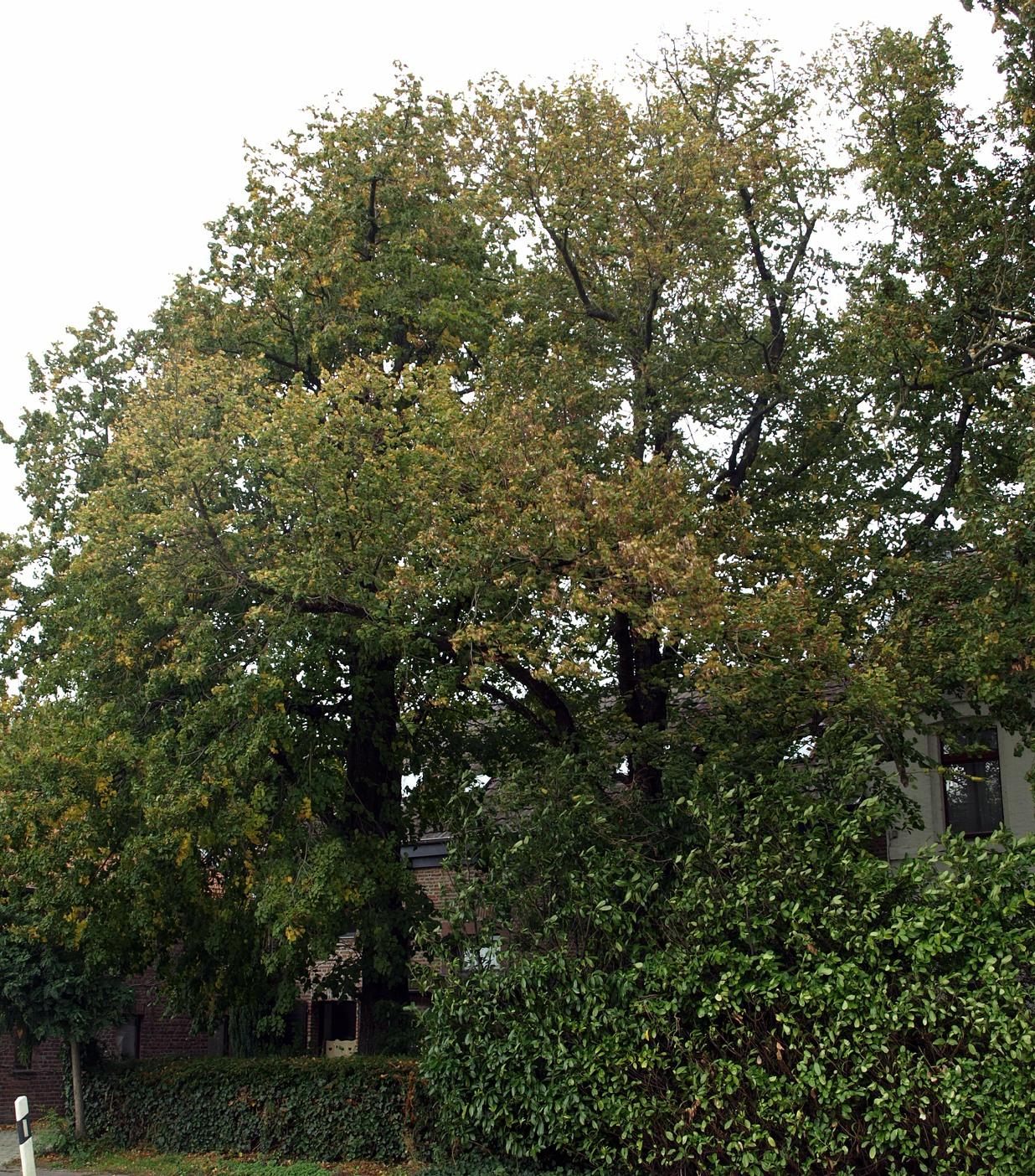 Grüne beantragen Baumschutzsatzung